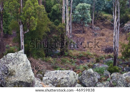 Tasmanian eucalyptus forest with boulders - stock photo