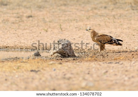 Tawney Eagle sitting on the ground to drink water in Kgalagadi South Africa - stock photo
