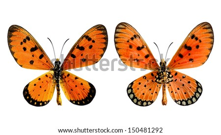 Tawny coster (Acraea violae) both upper and lower wings profile in natural color isolated on white background - stock photo