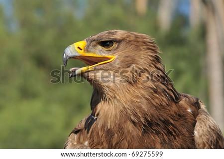 Tawny Eagle (Aquila rapax) - stock photo