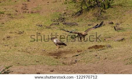 Tawny Eagle (Aquila Rapax) in Masai Mara National Park, Kenya - stock photo