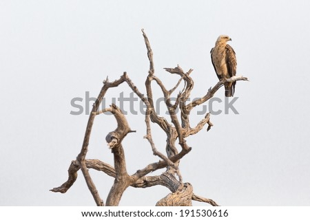 Tawny eagle (Aquila rapax) looking to something while perched on a dead branch, Chobe National Park - stock photo