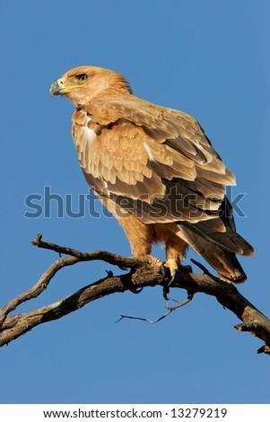 Tawny eagle (Aquila rapax) perched on a branch, Kalahari desert, South Africa - stock photo