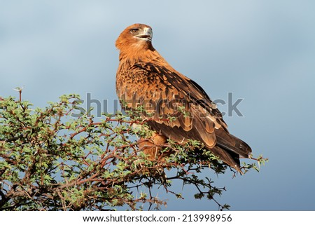 Tawny eagle (Aquila rapax) perched on a tree, Kalahari, South Africa  - stock photo