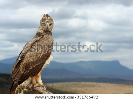 Tawny eagle (Aquila rapax) sitting on a branch tree, Africa, Kenya - stock photo