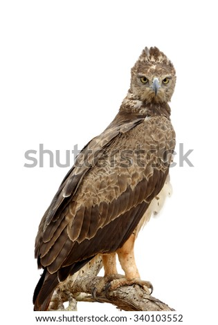 Tawny eagle (Aquila rapax) sitting on a branch tree isolaterd on white background - stock photo