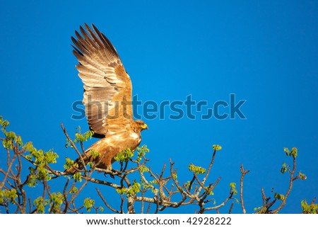 Tawny Eagle (Aquila rapax) sitting on the tree in South Africa - stock photo