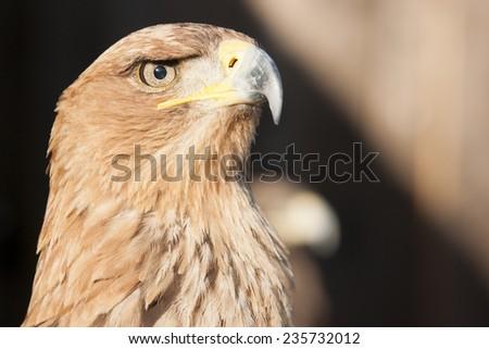 Tawny eagle bird of prey - stock photo