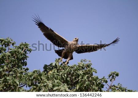 Tawny eagle taking-off from against a blue sky - stock photo