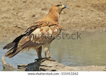 Tawny Eagle - Wild Bird Background from Africa - Staring into the abyss of the infinite blue sky. - stock photo