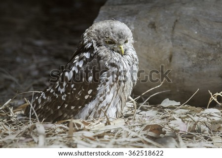 Tawny Frogmouth (Podargus strigoides) on the ground.  Native to Australia and Tasmania, it is often mistaken for an owl, because they are frequently more active at night. - stock photo