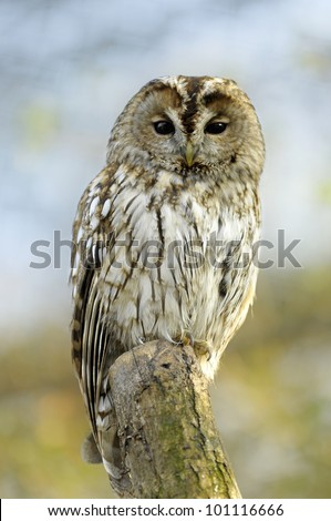 Tawny Owl - stock photo