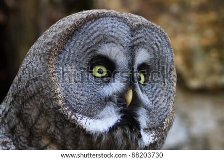 tawny owl close up - stock photo