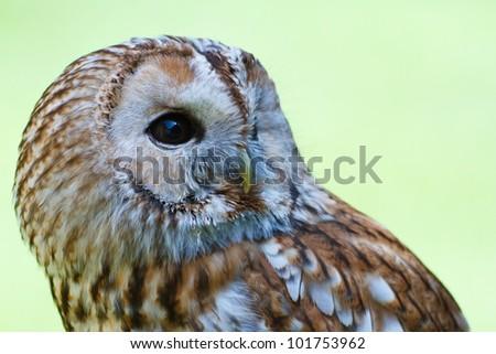 Tawny Owl in profile - stock photo