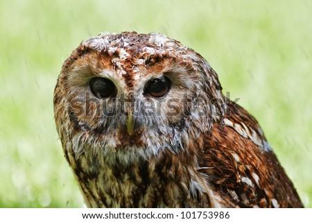 Tawny Owl in the rain - stock photo