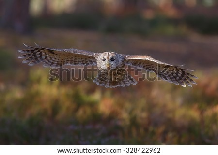 tawny owl is flying in the dark woods - stock photo