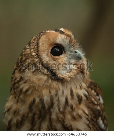 tawny owl looking up 9300