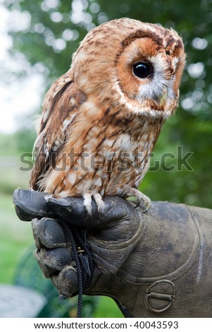 Tawny owl or Strix Aluco sitting on a gloved hand - stock photo