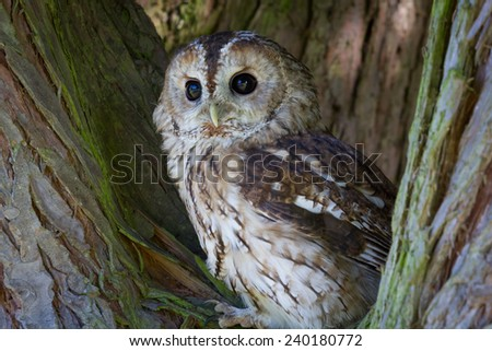 Tawny owl perched in tree and looking forward - stock photo