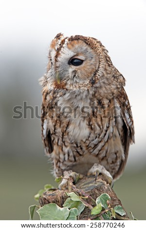 Tawny Owl perched on ivy covered stump/Tawny Owl/Tawny Owl (Strix Aluco) - stock photo