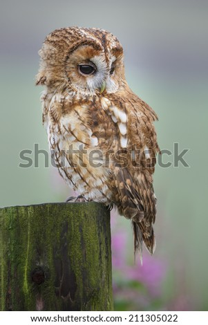 Tawny owl sitting on a n old gate post in the English countryside - stock photo