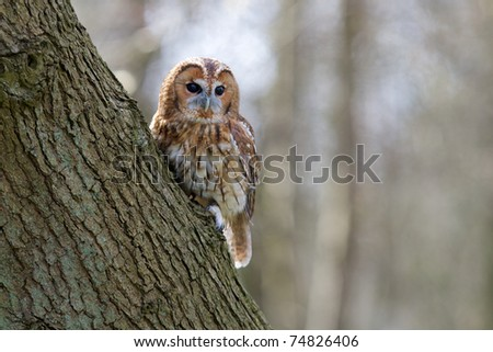 Tawny Owl sitting on a tree - stock photo