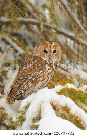 Tawny owl sitting on branch in snowy winter time