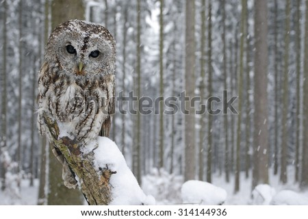Tawny Owl snow covered in snowfall during winter, snowy forest in background, nature habitat - stock photo