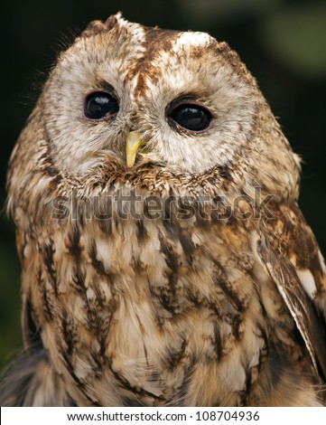 Tawny Owl (Strix aluco) - stock photo