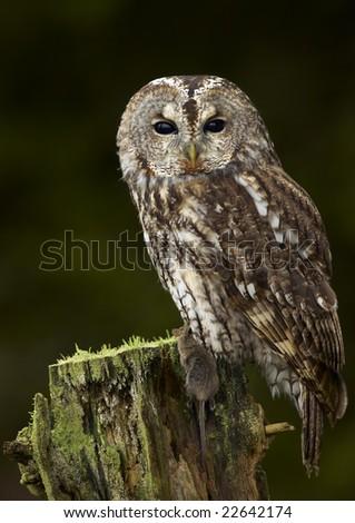 Tawny Owl (Strix aluco) - stock photo