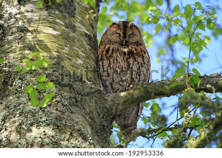 Tawny Owl (Strix aluco) asleep on a tree branch. Wild bird not captive. Taken in Angus, Scotland. - stock photo