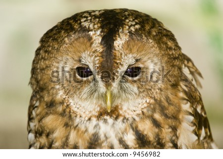 Tawny Owl (Strix Aluco) - landscape orientation - stock photo