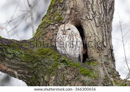 Tawny Owl (Strix aluco). Moscow. Russia. - stock photo
