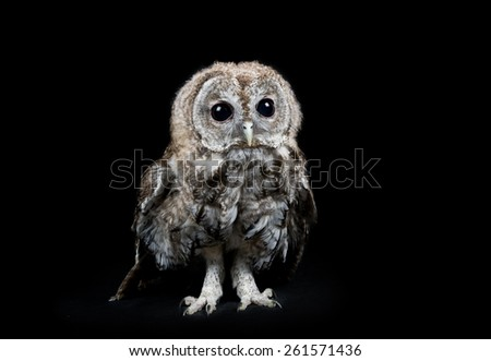 Tawny owl studio portrait - stock photo
