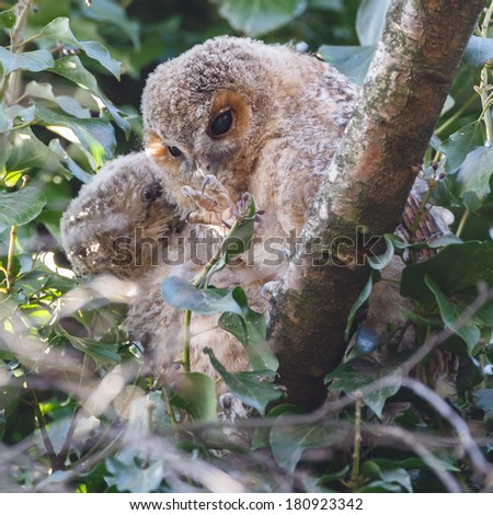 Tawny owl youngsters - stock photo