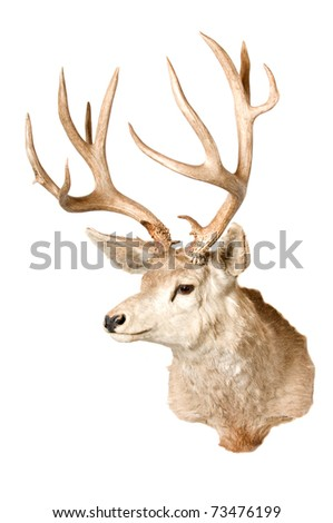 Taxidermied head of a odocoilus hemionus, or Blacktailed or Mule deer isolated on a white background