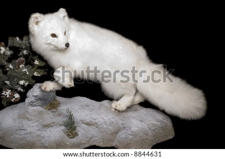Taxidermy mount of an Arctic Fox in winter pelage, isolated on a black background - stock photo