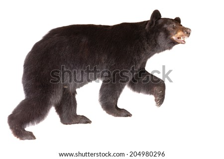 Taxidermy of a North American Black bear isolated on white - stock photo