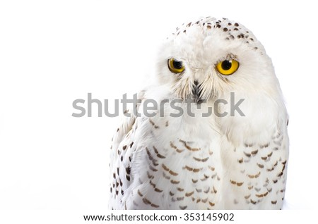 Taxidermy Snowy Owl On White Background - stock photo