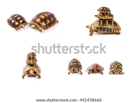 Taxidermy turtles on white background