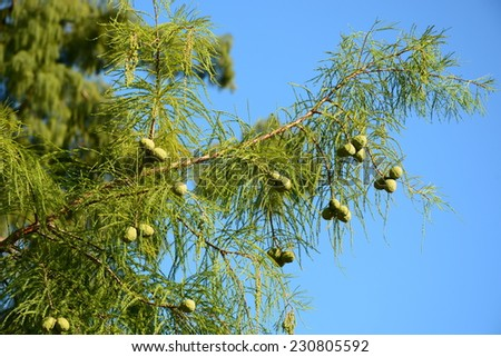 Taxodium distichum (Bald cypress) branches with cones - stock photo