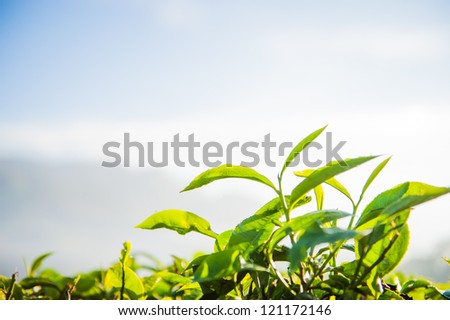 Tea bud and leaves. Tea plantations, Kerala, India - stock photo