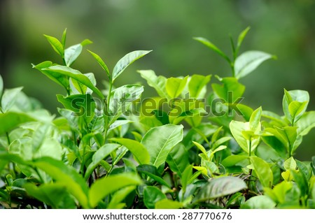 Tea bud and leaves. Tea plantations, Sri Lanka - stock photo