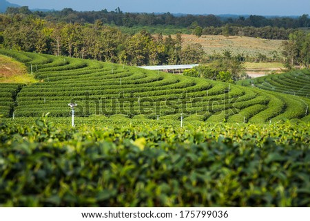 Tea Farm and mountain - stock photo