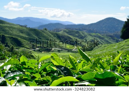 tea field, green field, cameron highland - stock photo