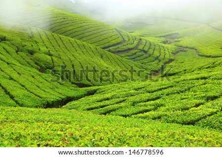 Tea field in Coonoor, India - stock photo