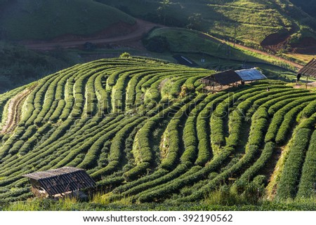 Tea field  with the cottage - stock photo