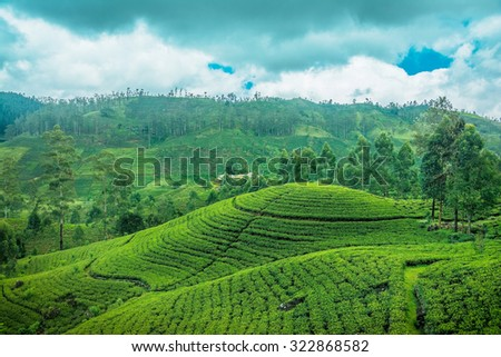 Tea fields in Sri Lanka