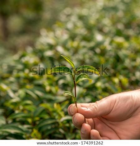 tea fresh leaves. Tea plantations. - stock photo