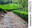 Tea Garden Alley in Tamil Nadu - stock photo